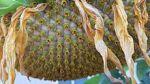 Sunflower_disk