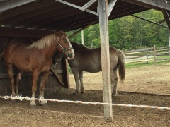 Belgian horses at Stonewall Farm